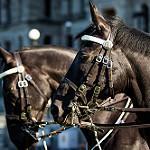 RCMP horses